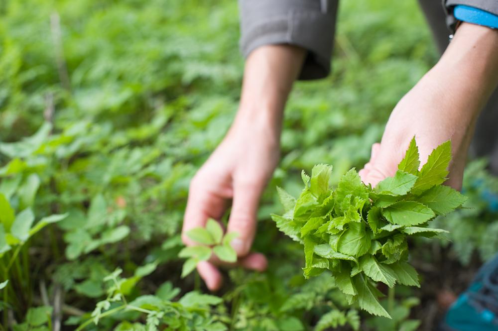 Lähde luontoon saalistamaan villivihanneksia.